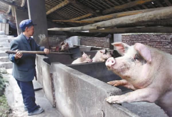 【江山多娇】老张养猪(散文)
